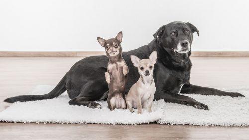dogs chihuahua pets
