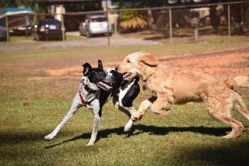 dogs play animal