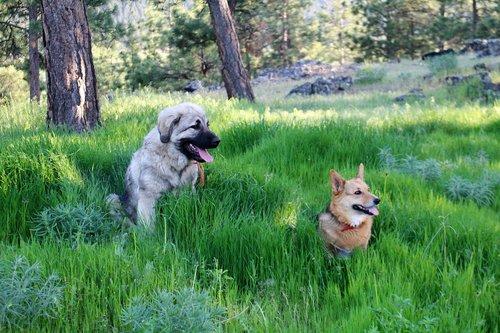 dogs  corgi  sarplaninac