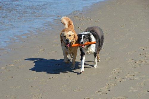 dogs  golden retriever  pet