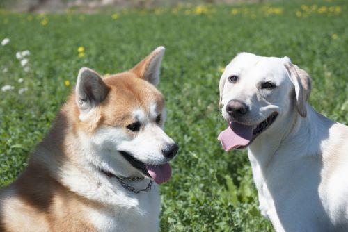 dogs labrador akita