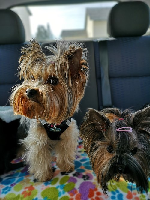 dogs  yorkshire terrier  back seat