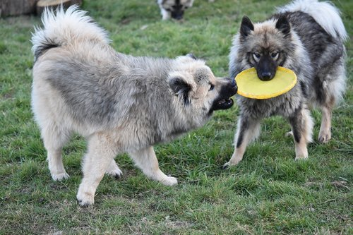 dogs  dogs eurasier  dogs play frisbee