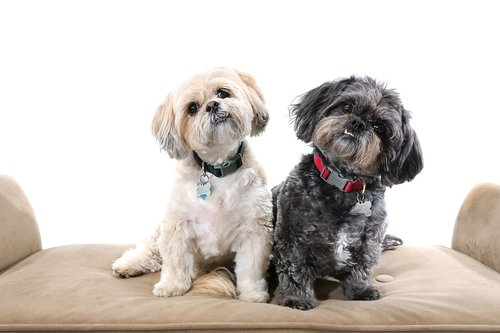 dogs  shihtzus  cute