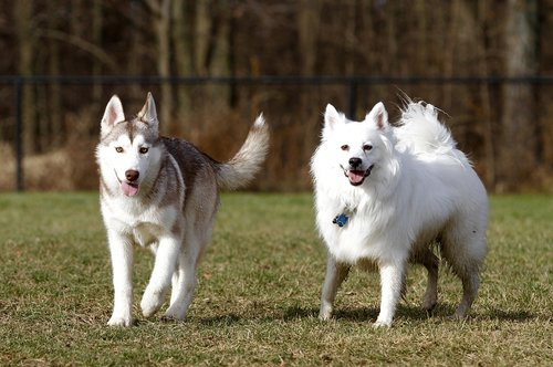 dogs  american eskimo  pet