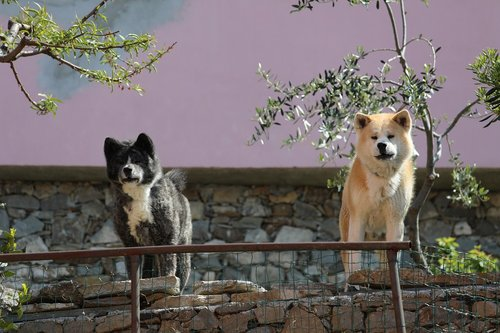dogs  guards  purebred dog