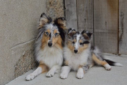 dogs  bitches  the female shetland sheepdog