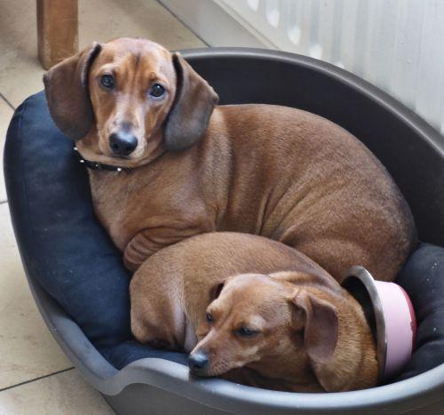 dogs dachound domesticated