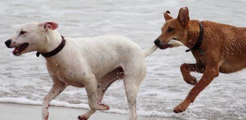 dogs batons play