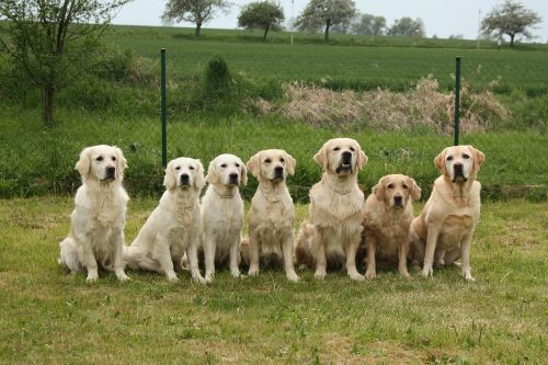 dogs golden retriever pack