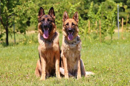 šunys, naminis, gyvūnai, Vokiečių aviganis, hobis, pora