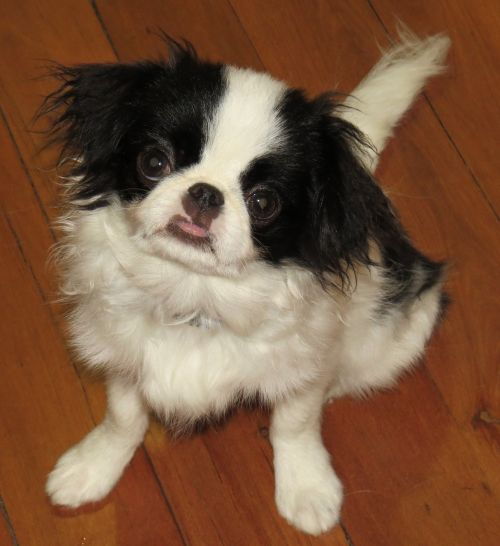 japanese chin dogs puppy