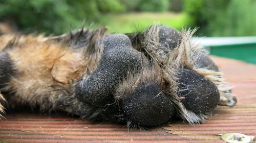 dog's paw german shepherd alsatian