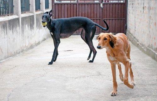 dogs playing  saluki  persian greyhound