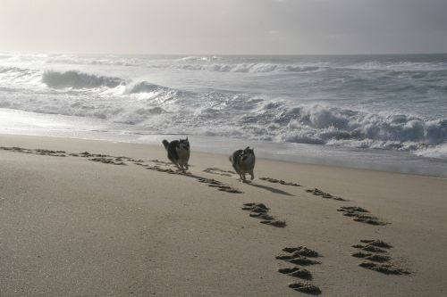dogs running husky galician beach