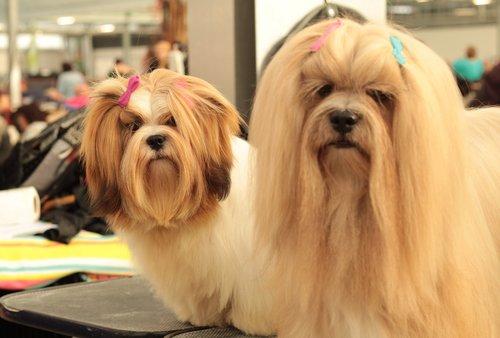 dogshow  lhasa apso  dog