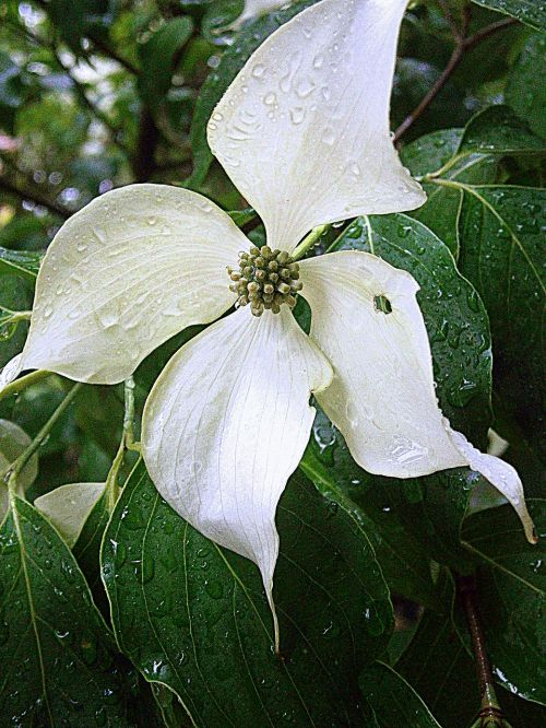dogwood asian dogwood blossoms bush