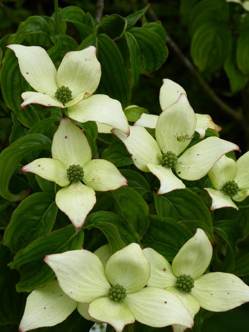 dogwood  cornus  tree