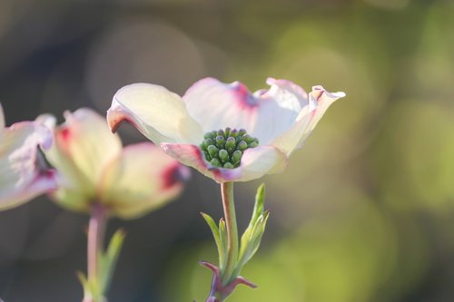 dogwood  ornamental shrub  bush