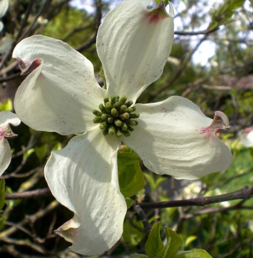 dogwood flower blossom bloom