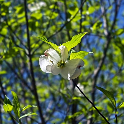 dogwood in arkansas spring  dogwood  blossom