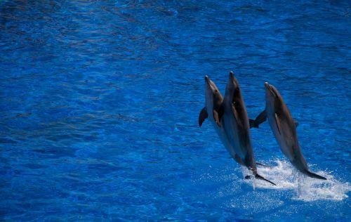dolphin cetacean water