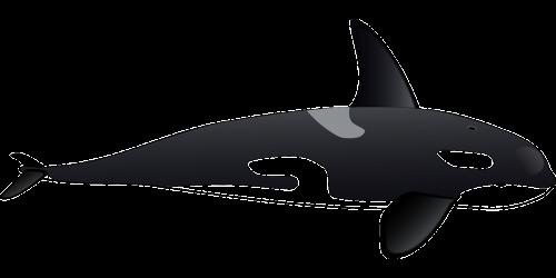dolphin orca whale