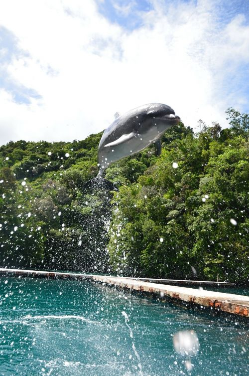 dolphin jumping spectacular