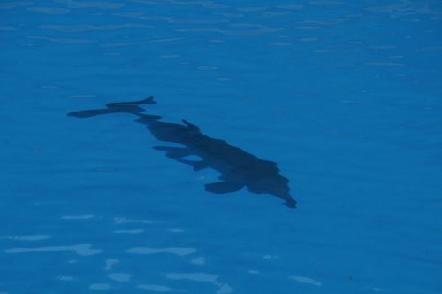 dolphin bottlenose dolphin marine mammals