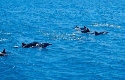 dolphin  marine  animal
