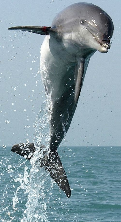 dolphin jumping leaping