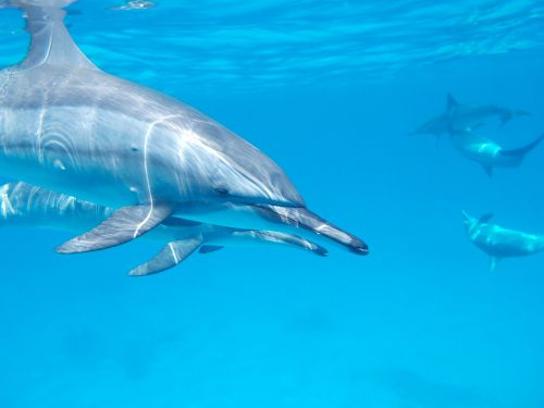dolphin ocean sea
