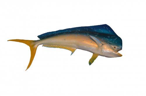 mahi & nbsp, mahi, delfinas & nbsp, žuvis, žuvis, spalvinga, sūrus vanduo, Jūros gyvenimas, jūrų & nbsp, gyvenimas, žaidimas & nbsp, žvejyba, sportas & nbsp, žvejyba, laukiniai, atogrąžų, vandenynas, jūra, vandens & nbsp, gyvenimas, delfinų žuvis