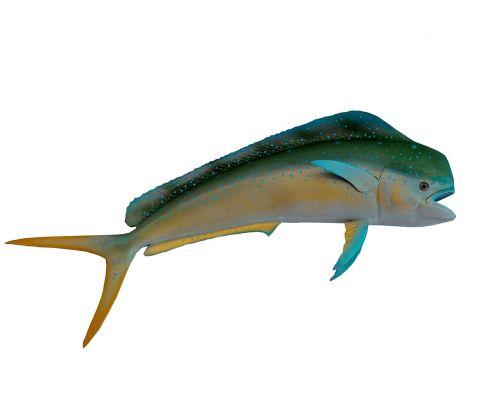 dolphin fish colorful fish