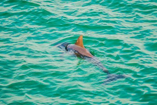 Dolphin In An Ocean
