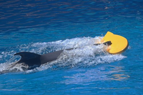 Dolphin Swimming With Yellow Board