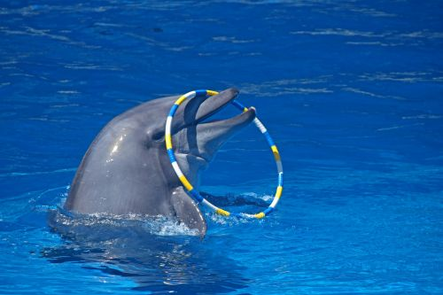 Dolphin With Ring Over Nose