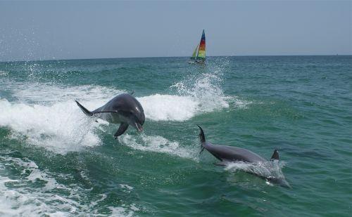 dolphins ocean marine