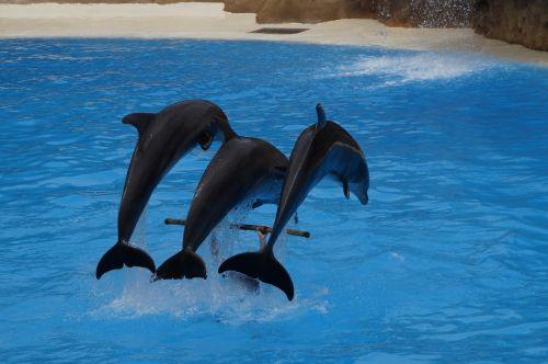 dolphins swim dolphin