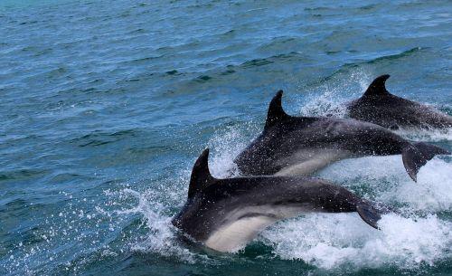 dolphins marine mammals water