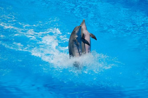 dolphins swimming body of water