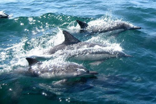 dolphins swimming water