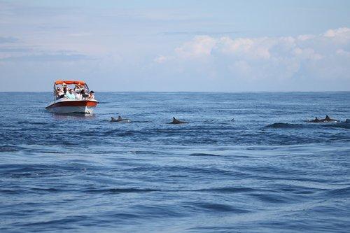 dolphins  sea  ocean