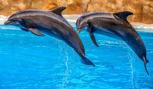 dolphins  animal  nature