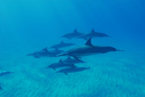 dolphins ocean hawaii