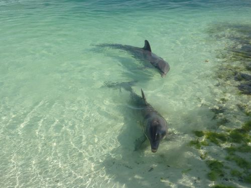 dolphins sea blue
