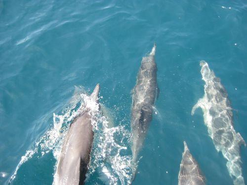 dolphins ocean blue