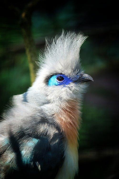 dome're cuckoo  cuckoo  madagascar