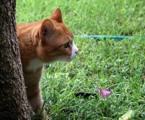 domestic cat pet