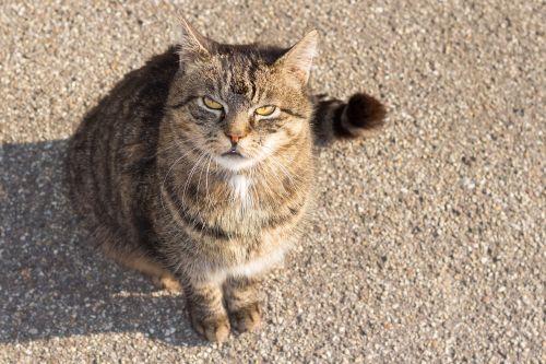 domestic cat cat purr
